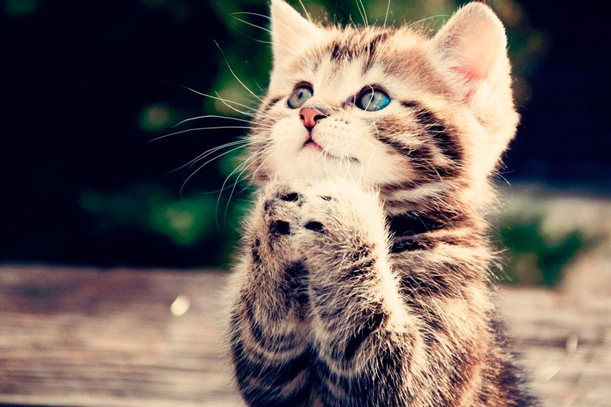Купить кошку в Перми